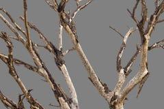 Чуть-чуть предпосылка серого цвета ветвей Стоковое Фото