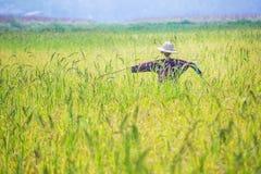 Чучело было настроено в золотом поле риса Таиланда, золотого расплывчатого зерна риса в переднем плане и предпосылке стоковые изображения