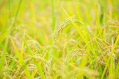 Чучело было настроено в золотом поле риса Таиланда, золотого расплывчатого зерна риса в переднем плане и предпосылке стоковая фотография rf