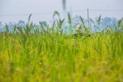 Чучело было настроено в золотом поле риса Таиланда, золотого расплывчатого зерна риса в переднем плане и предпосылке стоковые фото