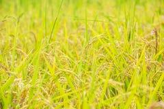 Чучело было настроено в золотом поле риса Таиланда, золотого расплывчатого зерна риса в переднем плане и предпосылке стоковые изображения rf