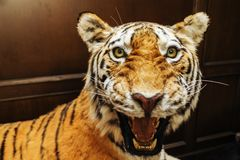 Чучело тигра, злого тигра стоковое изображение