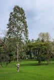 Чучело прикрепилось к дереву в зеленых рисовых полях, Майсуре Индии Стоковое Изображение RF