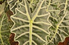 Чудесная линия картина листьев caladium Стоковое фото RF