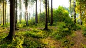 Чудесное утро в лесе Стоковые Фотографии RF