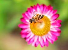 Чудесное фото красивой пчелы и цветков солнечный день Стоковая Фотография