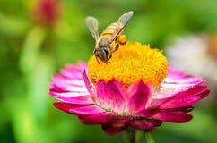 Чудесное фото красивой пчелы и цветков солнечный день Стоковое Изображение