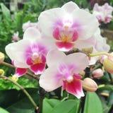 Чудесные белые и розовые покрашенные цветки орхидеи Стоковые Фотографии RF
