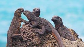 Чудесные морские игуаны на островах Галапагос Стоковые Изображения RF