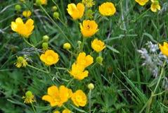 Чудесные цветки желтого цвета горы стоковые фото