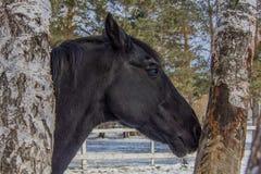 Чудесные черные лошадь и деревья Стоковые Изображения