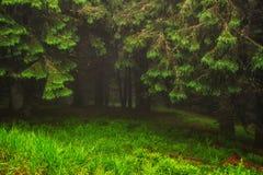 Чудесный ландшафт соснового леса в погоде тумана на прикарпатских горах Стоковые Фотографии RF