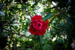 Чудесный цветок красной розы Стоковые Изображения RF