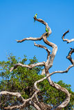 Члены рода ожерелового попугая или Афро-азиатского Ringnecked попыгая Стоковые Фотографии RF