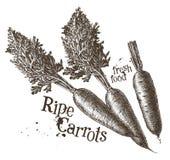 Шаблон дизайна логотипа вектора морковей свеже иллюстрация штока