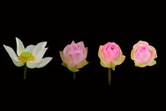 Шаблон красивого изолированного цветка лотоса Стоковое фото RF