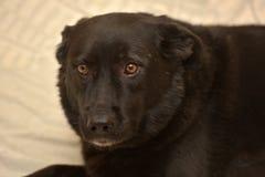 Шавка черной собаки несчастная стоковая фотография
