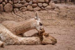 Шаловливая лама младенца сдерживая свое ухо матерей стоковое изображение