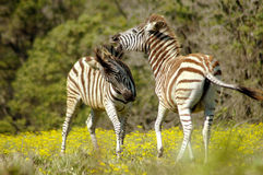 Шаловливая молодая зебра 2 Стоковое Изображение RF