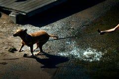 Шаловливая собака волоча свой владельца вокруг на пляже стоковое фото