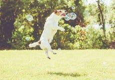 Шаловливая собака скачет высоко для того чтобы уловить пузыри мыла на солнечной лужайке на горячем летнем дне Стоковая Фотография RF
