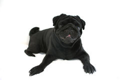 шаловливое собаки смешное Стоковое фото RF