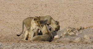 Шаловливые африканские львы - пустыня Kalahari видеоматериал