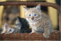 Шаловливые котята в бамбуковой корзине стоковое фото rf