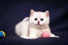 Шаловливый белый великобританский котенок с голубыми глазами вытаращить на камере стоковая фотография rf