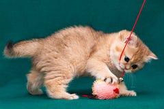 Шаловливый золотой великобританский котенок играя с игрушкой стоковые изображения
