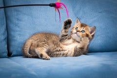 Шаловливый коричневый великобританский котенок играя с ручкой лежа вверх ногами стоковое изображение
