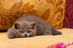 Шаловливый маленький голубой великобританский котенок охотится для игрушки лежа на кресле получая готов поскакать стоковое фото