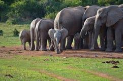 Шаловливый слон младенца в национальном парке слона Addo Стоковые Изображения RF