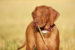 Шаловливый щенок Стоковая Фотография RF