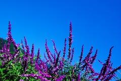 шалфей мексиканца bush стоковые фотографии rf