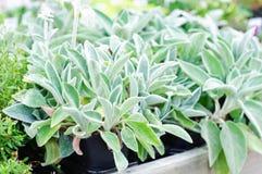 Шалфей сада officinalis- Salvia Стоковое Изображение
