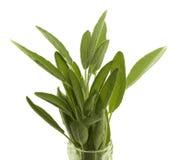шалфей свежей травы органический Стоковая Фотография RF