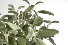 шалфей bush orizzontal стоковые фото