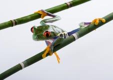 шальная лягушка Стоковая Фотография RF