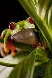 шальная лягушка Стоковое Изображение
