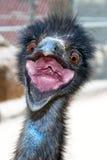 шальной emu Стоковое Изображение RF