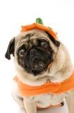 шальной pug halloween Стоковая Фотография RF