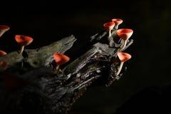 Шампанское гриба. Стоковое Фото