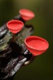 Шампанское гриба. Стоковые Фото