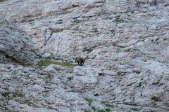 Шамуа бежать в горах стоковое изображение