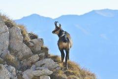 Шамуа в горах стоковая фотография rf