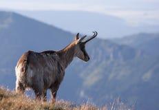 Шамуа в окружающей среде горы Стоковые Изображения