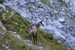 Шамуа пася в горах в утре стоковая фотография rf