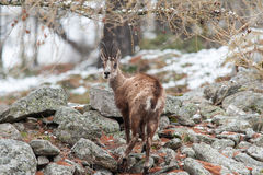 Шамуа (rupicapra Rupicapra) в Альпах Стоковые Фотографии RF