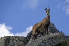 Шамуа Tatra на утесах Стоковые Фотографии RF